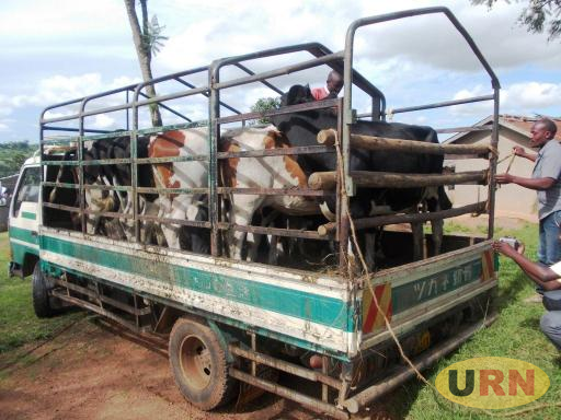 Heifers on a truck upon delivery to Masaka