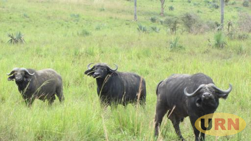 Buffulos in Queen Elizabeth National Park, their natural habitat is threatened by invasive plant species like spear grass and congress weed among others.