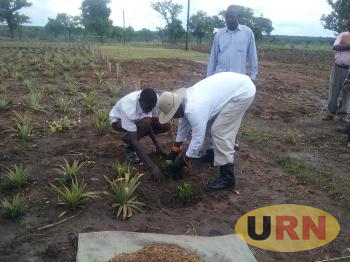 President Museveni planting pineapple at his garden