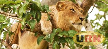 Tree climbing lion in Queen Elizabeth National Park - Courtesy Photo